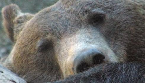 La Lega infuria gli animalisti con la carne d'orso