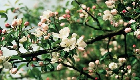 Essenza Crab Apple contro depressione e stress