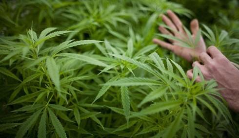 Pianta cannabis in giardino per errore