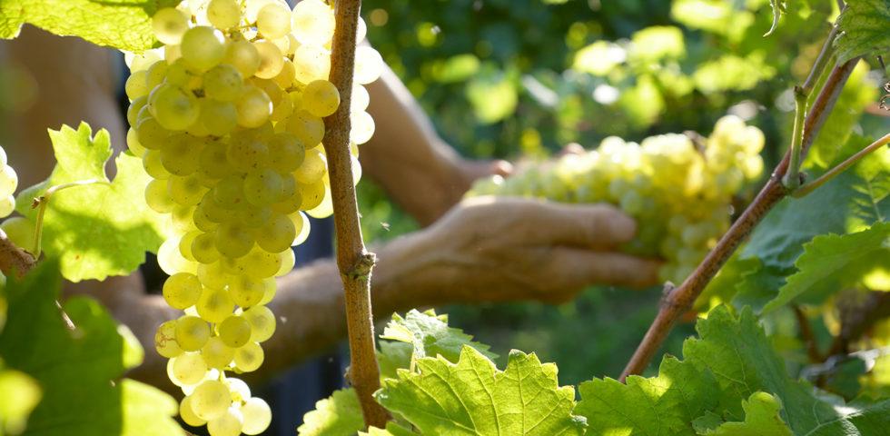 Anima d'Uva di Glerage, la crema antiaging presentata nelle colline del Prosecco