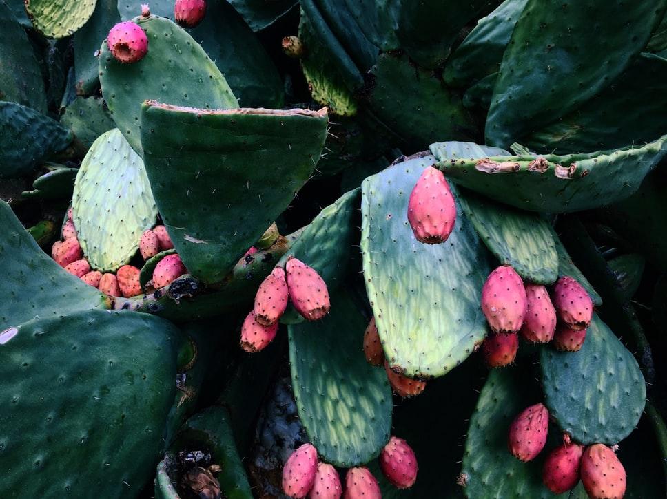 fico d'india piante grasse
