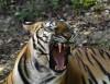 Mamma Tigre